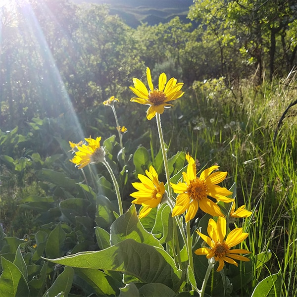 Yellow flowers alpine nature center arrowleaf balsamroot balsamorhiza sagittata mightylinksfo
